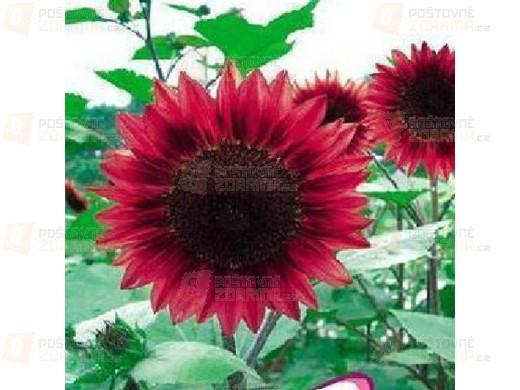 Rudá slunečnice - balení 30 semínek